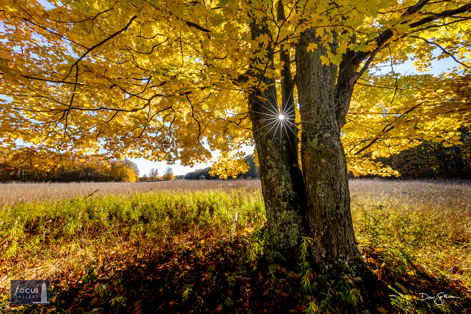 Photo © Drew Smith A sugar maple tree in full autumn regalia glows, backlit by the afternoon sun.   This image is also available...