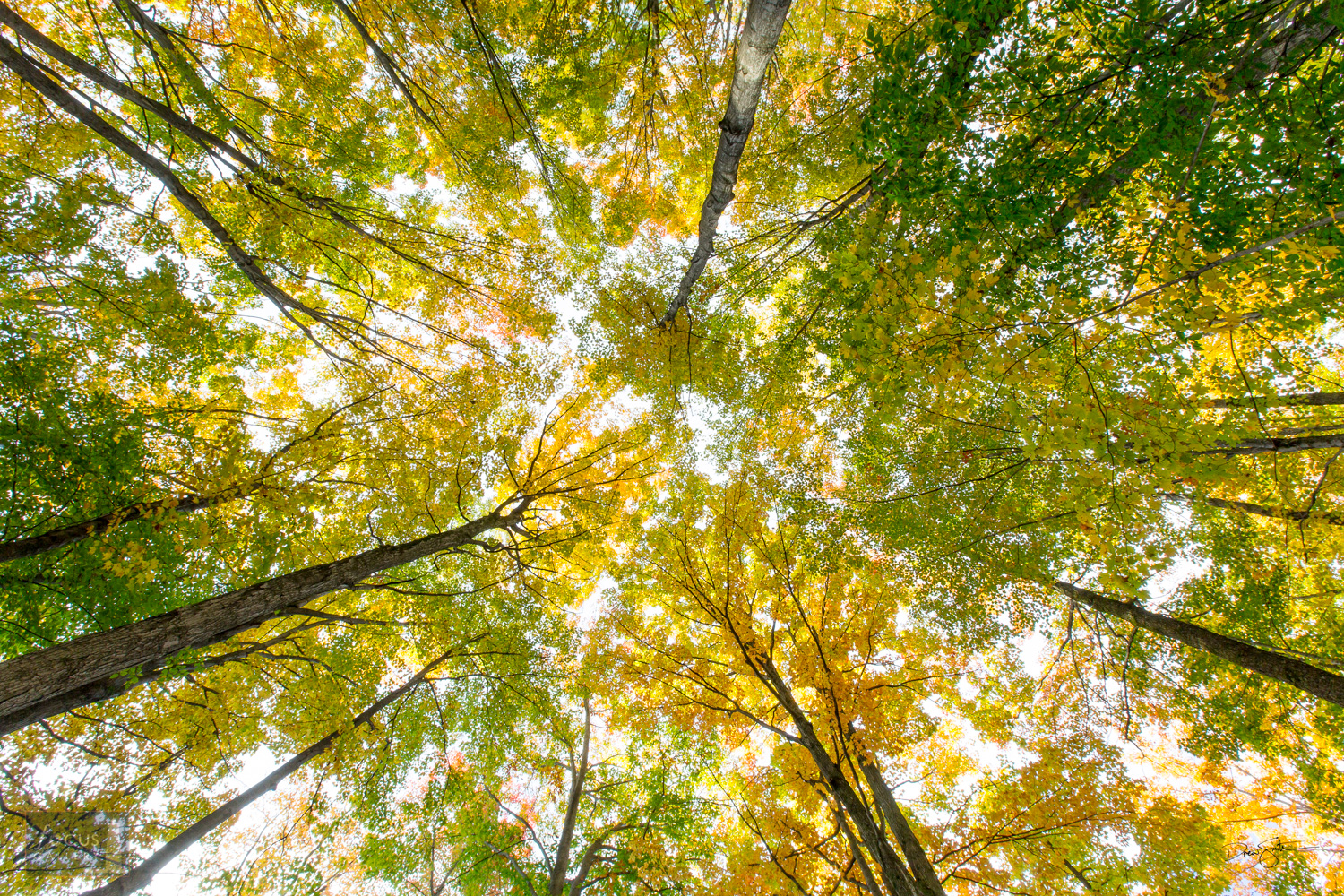 Looking up at trees in autumn with fall colors.