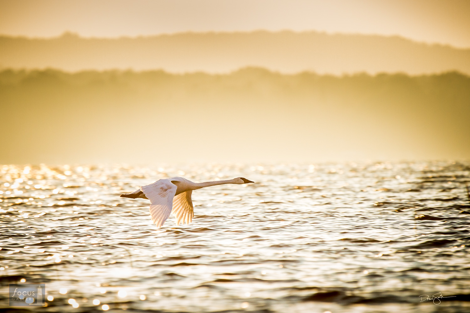 Trumpeter swan takes off on Platte Lake, Benzie County, Michigan.