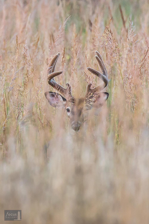 Portrait of a large white-tail buck through grasses, Arcadia Dunes Nature Preserve, Michigan.