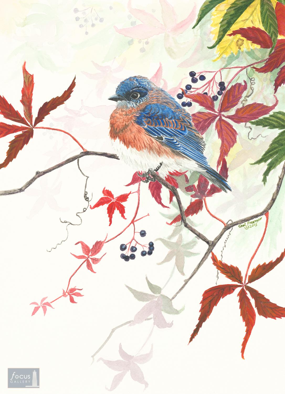 Original watercolor painting of an Eastern Bluebird in Virginia Creeper.