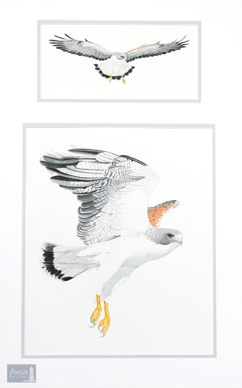 Original watercolor paintings of white-tailed hawk bird of prey.