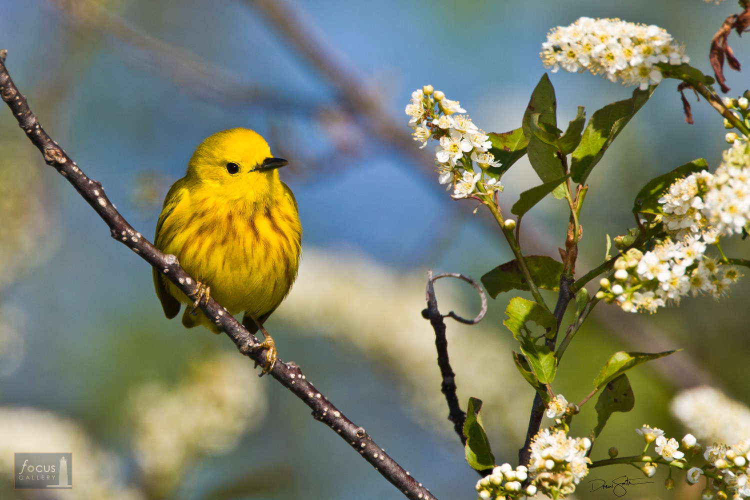 Photo © Drew Smith The Yellow Warbler is a beautiful, boldly-colored bird - lots of fun to photograph!  This one was foraging...