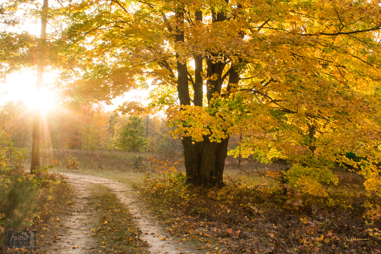 Photo © Carl Freeman Off of Reynolds Road near Thompsonville, Benzie County - afternoon light through a sugar maple.