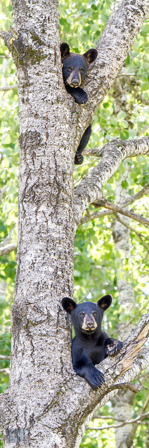 Black bear cubs high in a tree.